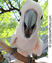 Cockatoo bird - Cockatoo pink color bird will smile and say