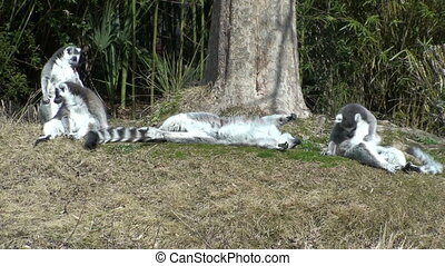 Lemurs playing around the tree