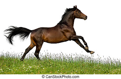 Bay horse runs gallop in field on white background.