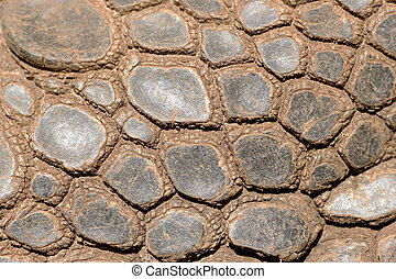 Sking of Aldabra giant tortoise - Closeup of the skin of an...