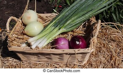 onions - man adding table onions to a wicker basket in the...