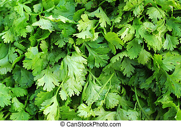 fresh green coriander on the market