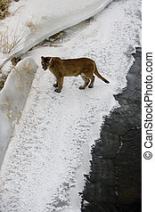 Puma or Mountain lion, Puma concolor, single cat in snow,...