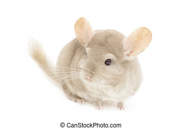 Chinchilla isolated in front of a white background.