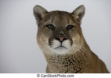 Puma or Mountain lion, Puma concolor, single cat head shot,...
