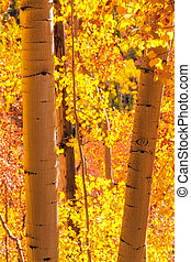 Aspen Trees - Aspen tree trunks standing in aspen forest