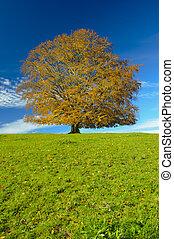 single beech tree in autumn