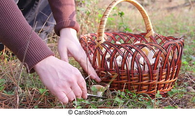 Mushroom Picking - Woman picking russule mushroom in the...