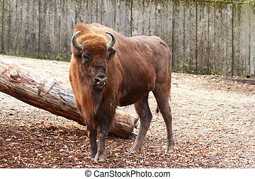Bison, european bison - A european bison, full body