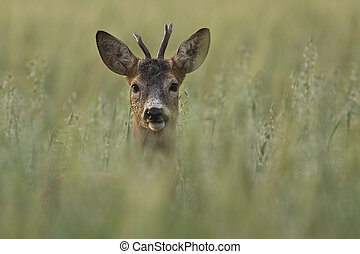 roe deer - Roe deer in the wild