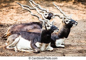 Indian Black Buck Antelope