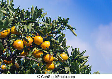 tangerine - Tangerines  on the tree at orchard