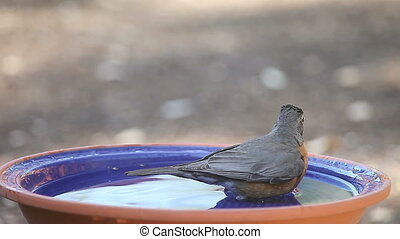 robin takes a leisurely bath - a robin taking his time in a...