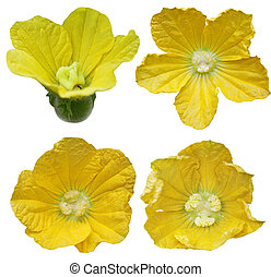 Winter Gourd Flower - Male and Female Winter Gourd flowers...