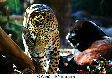 Jaguar Prowling - An image of a Jaguar on the prowling...