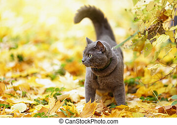 british shorthair cat outdoor walking in harness, autumn...
