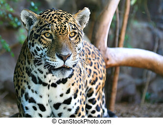 Jaguar - An image of a Jaguar on the prowling around in a...