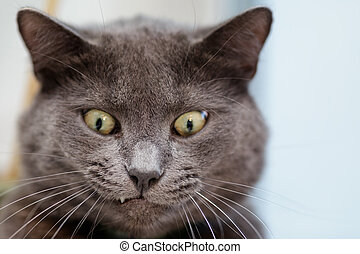 funny cat face, british shorthair cat close up
