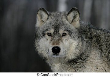 Grey wolf, Canis lupus, single mammal head shot, captive...