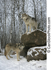 Grey wolf, Canis lupus - Grey wolf, Canis lupus, two wolves,...