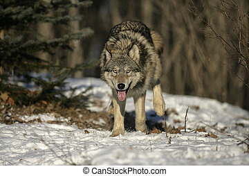 Grey wolf, Canis lupus, single mammal on snow, captive...