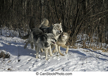 Grey wolf, Canis lupus, group of wolves on snow, captive...