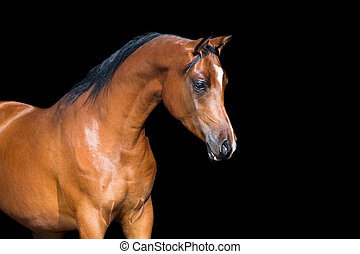 Arabian horse isolated on black - Brown horse head isolated...