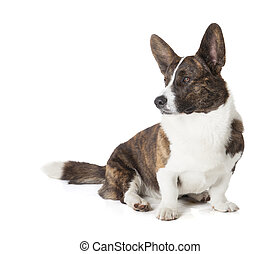 Cardigan Welsh Corgi on a white background in studio