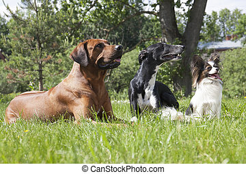 three dogs Rhodesian Ridgeback hound Hort, Papillon on a...