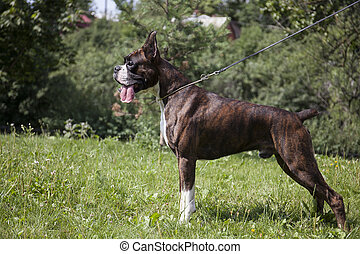 boxer dog in a field