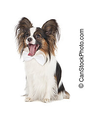 Papillon on white background
