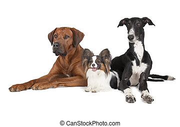 three dogs Rhodesian Ridgeback Papillon and Hort greyhound...