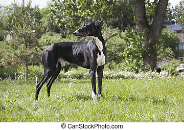 Hort greyhound on the grass
