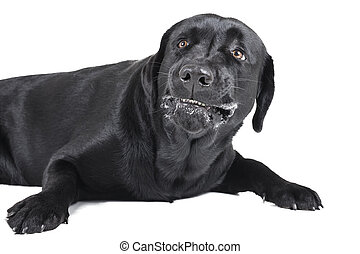 angry dog labrador on a white background