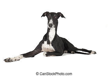 Hort greyhound lying on a white background