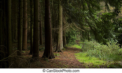 The Dark Forest - Dark mystical quiet coniferous forest with...
