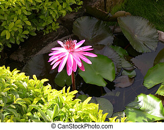 Lotus 2 - Pink Lotus surrounded by Green Leaves in a...