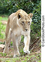 Lioness on Prowl - Beuatiful African lioness stalking...