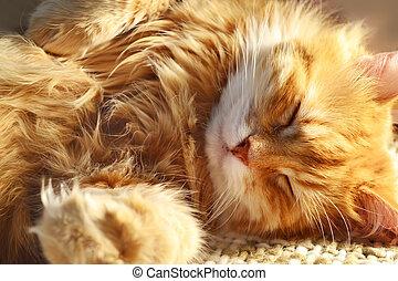 sueño, rojo, gato