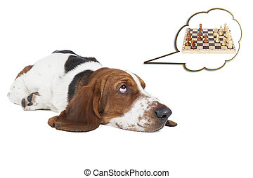basset hound thinks about chess on a white background