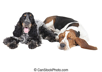 two dogs (Basset hound and English Cocker Spaniel) on a...