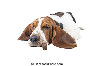 Dog Basset with a cigar sleeps on a white background
