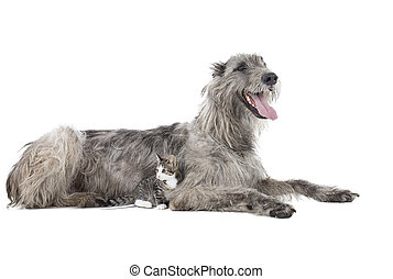 Dog (Irish Wolfhound) with a kitten on a white background in...