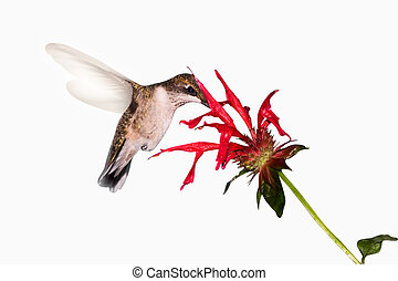 hummingbird food search - hummingbird searches the inside of...
