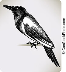 Bird magpie, hand-drawing. Vector illustration.