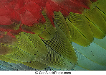 Red-and-green macaw, Ara chloropterus, single bird feather...
