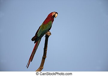 Red-and-green macaw, Ara chloropterus, single bird on...