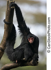 Red-faced spider monkey, Ateles paniscus, single mammal on...