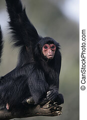 Red-faced spider monkey, Ateles paniscus