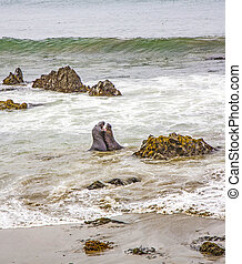 male Sealions fight in the ocean at San Simeon